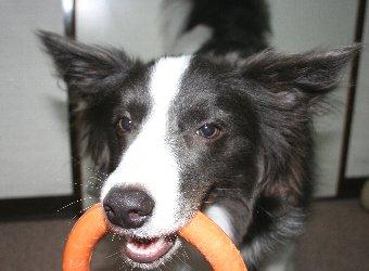 ひっぱりっこする犬
