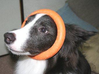 おもちゃの輪っかを顔にはめられた犬