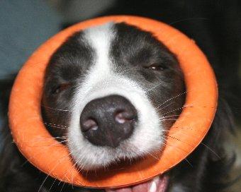 おもちゃがはまって面白い顔になった犬