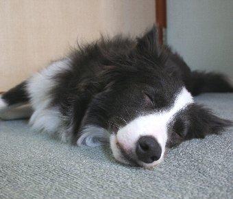 熟睡するボーダーコリー