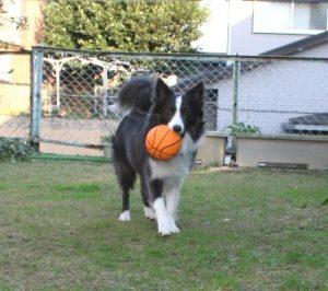 新しいボールをもらった犬