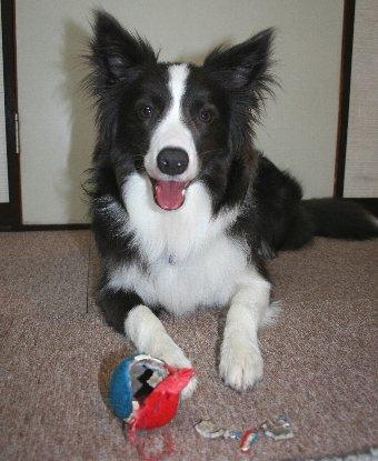 破壊したボールと得意げな犬