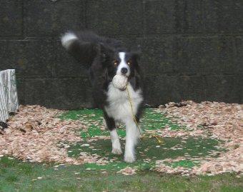 ウッドチップが撒かれた庭で遊ぶ犬