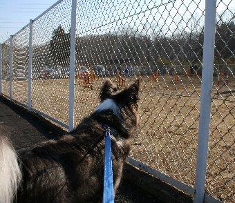 アジリティを見学する犬