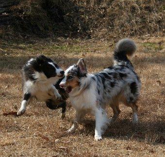 遊ぶオゥシーとボーダーコリー