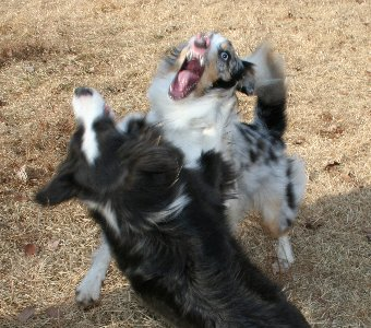 オゥシーと遊ぶボーダーコリー