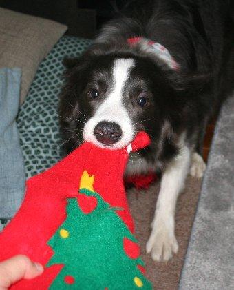 クリスマスプレゼントを奪おうとする犬