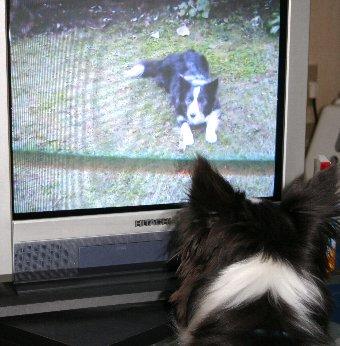 画面に映る自分を見る犬