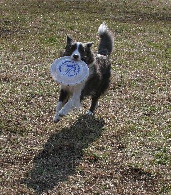 初めてのディスクをする犬