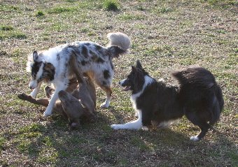先輩犬たちに遊んでもらうボーダーコリー