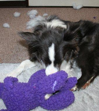 ぬいぐるみの破壊に忙しい犬