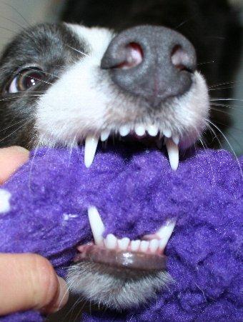 10ヶ月のボーダーコリーの歯