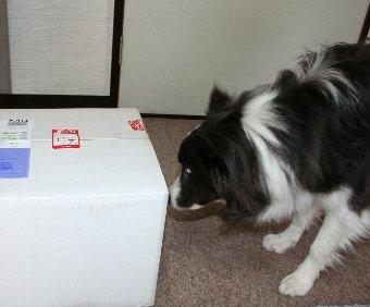 宅急便で届いた荷物に興味津々の犬