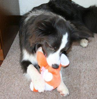 新しいおもちゃをもらった犬