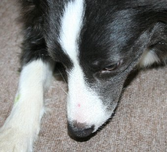マズルに棘が刺さってしまった犬