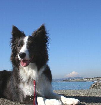 富士山とボーダーコリー