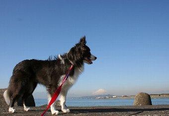 富士山と海とボーダーコリー