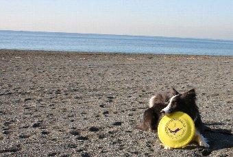 砂浜でディスクで遊ぶボーダーコリー