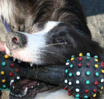 砂まみれのおもちゃで遊ぶ犬