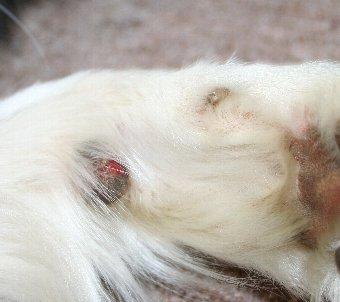 ボーダーコリーの足から出血
