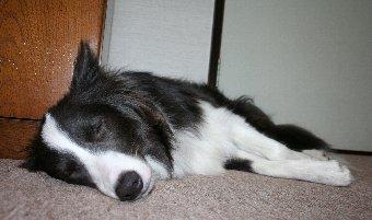 寝るボーダーコリー