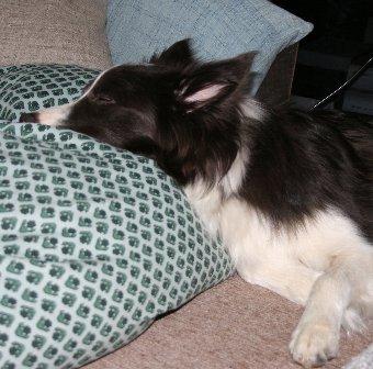眠るボーダーコリー