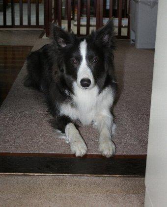 キッチンには入ってはいけないことを理解してきた犬