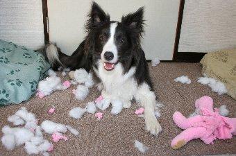 ぬいぐるみを破壊し終わった犬