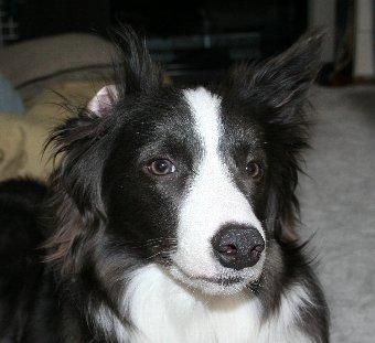 耳がひっくり返っていることに気付いていない犬