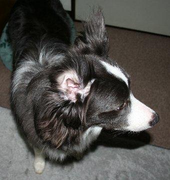 ボーダーコリーの耳の中がよく見える