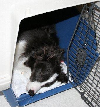 クレートで熟睡する犬