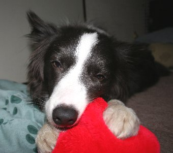ご機嫌でおもちゃで遊ぶ犬