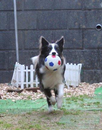 ボールをくわえて走るボーダーコリー