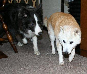 14才の柴犬と11ヶ月のボーダーコリー