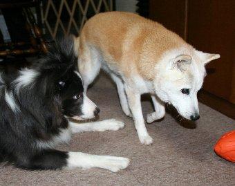 老柴犬と若いボーダーコリー