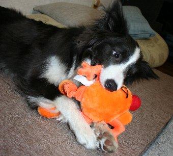 新しいおもちゃを抱えて遊ぶ犬