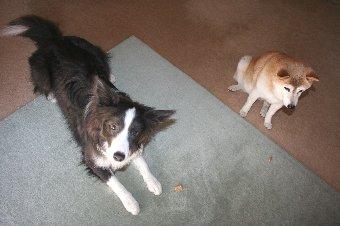 老犬と若い犬