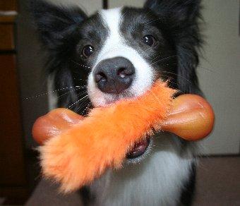 おもちゃをふたつくわえる犬