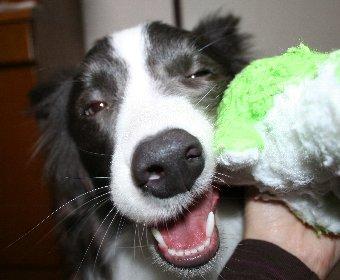ぬいぐるみ大好きな犬