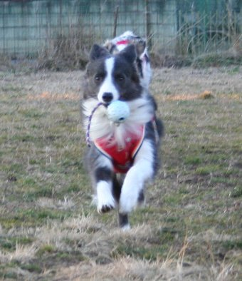 紐付きボールを持って走る犬