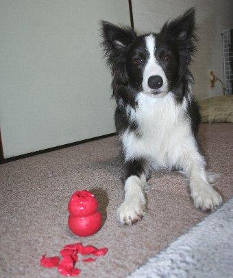 コングを破壊した犬