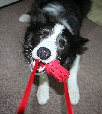 紐付きオモチャで遊ぶ犬