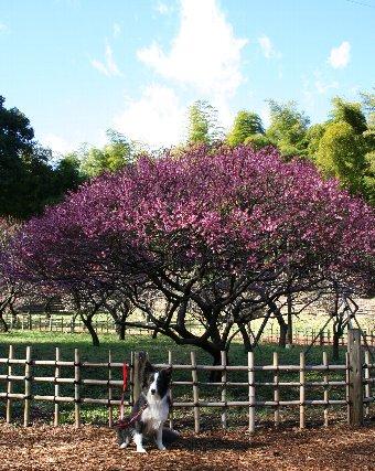 梅の木とボーダーコリー