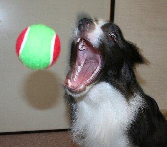 投げたボールをキャッチする直前の犬
