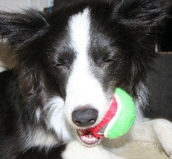 ボールを破壊し始める犬