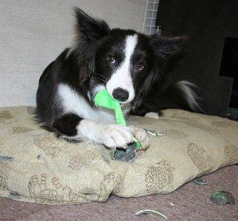 あっという間にボールを破壊した犬