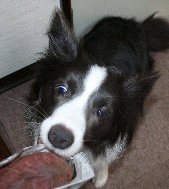 焼き芋を強奪しようとする犬