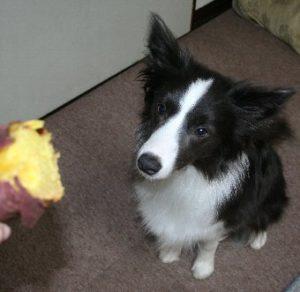 焼き芋がもらえると思って待つ犬