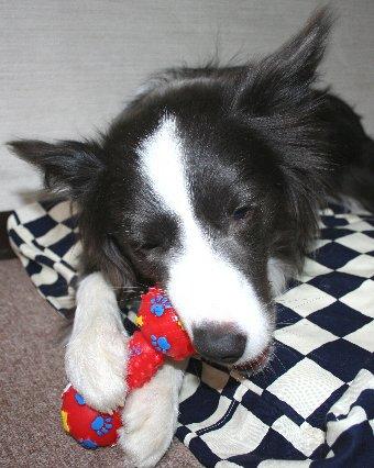 幸せそうにおもちゃを噛む犬