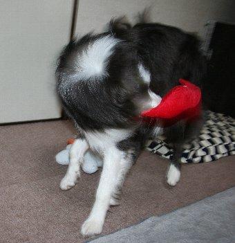 おもちゃを振り回して遊ぶ犬